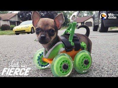 Perrito nace sin patitas delanteras y sus dueños le construyen una solución