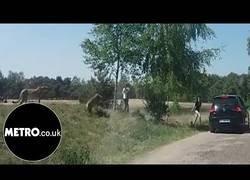 Enlace a Una familia decide bajarse del coche durante un safari en la zona de leopardos y casi lo lamenta