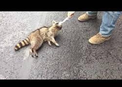 Enlace a Rescate a un mapache que se habia quedado atrapado del cuello