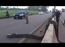 Enlace a Una cobra gigantesca se impone y atraviesa una autovia
