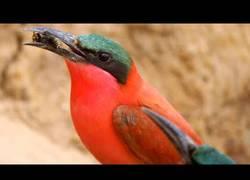 Enlace a Pájaros abejarucos y su brutal técnica de alimentación