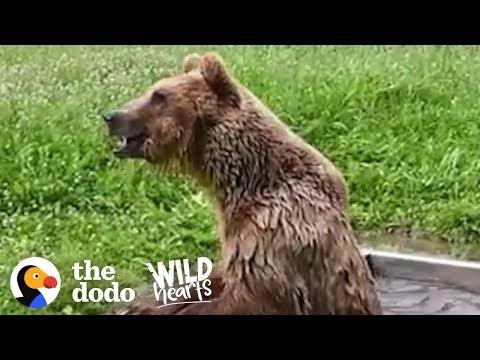 La reacción de un oso rescatado después de 8 años tras rejas de metal