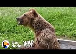 Enlace a La reacción de un oso rescatado después de 8 años tras rejas de metal