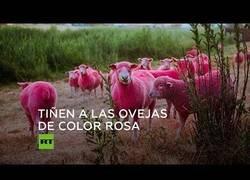 Enlace a Ovejas rosas como promoción para un festival