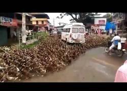 Enlace a Un ejército de patos atraviesa la ciudad