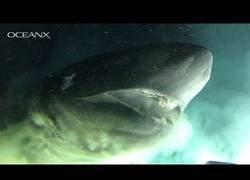 Enlace a Los pelos de punta cuando un tiburón gigante decide curiosear muy cerca de ti