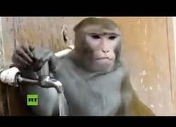 Enlace a Este mono tiene más conciencia del medioambiente que muchos humanos