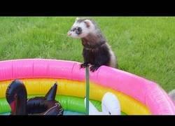 Enlace a Hurones tienen una fiesta en la piscina