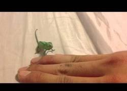 Enlace a Este adorable bebé camaleón