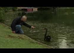 Enlace a Un cisne negro recibe una reprimenda de un hombre muy inglés