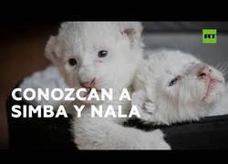 Enlace a Dos cachorros de león blanco nacen en cautiverio en Francia