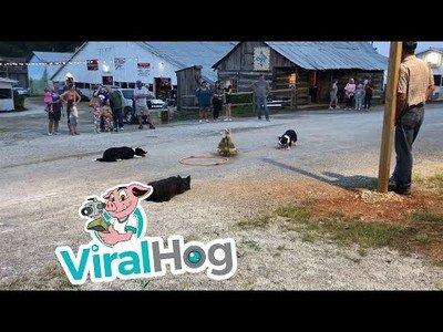 Los border collies pueden pastorear patos y ovejas