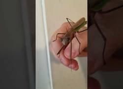 Enlace a Mantis religiosa quiere un selfie
