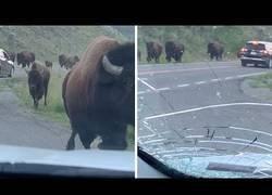 Enlace a Una manada de bisontes invade una carretera y embiste un coche con una familia dentro