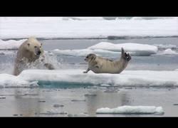 Enlace a Hambriento oso polar sorprende a foca