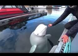 Enlace a Trabajando la amistad con una ballena beluga
