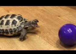 Enlace a A cualquier animal le gusta jugar con la pelota