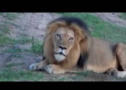 Enlace a Aún no sé si es un león rugiendo o un demogorgon