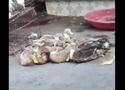 Enlace a Este pato es un cachondeo