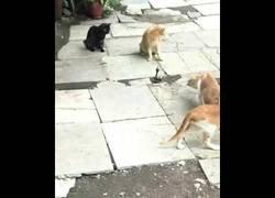 Enlace a 1 cobra 4 gatos