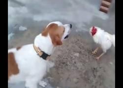 Enlace a Como te cruce un pollo ya la has liado, seas quien seas
