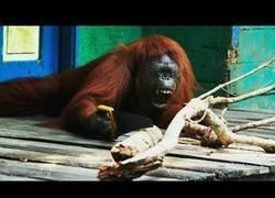 Enlace a El hobby de este orangután es serrar ramas