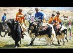 Enlace a ¿Por qué jugar al polo con caballos cuando tienes yaks?