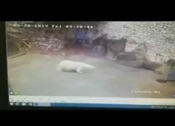 Enlace a Una mujer consigue parar a un oso polar a escobazos