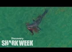 Enlace a Captan a un tiburón cogiendo su cena