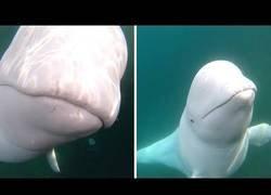Enlace a Una beluga tira la gopro de su nuevo amigo humano y va a buscarla al fondo