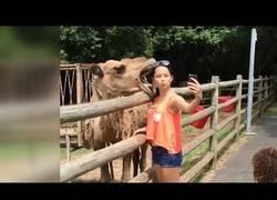 Enlace a Un camello casi se merienda a una pobre chica que solo quería un selfie