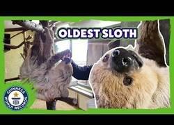 Enlace a El oso perezoso más viejo del mundo