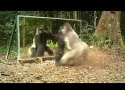 Enlace a Esto sucede cuando un gorila plateado ve su reflejo en un espejo
