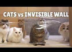 Enlace a ¿Cómo reaccionan los gatos al toparse con una pared invisible?