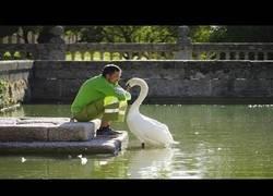Enlace a La increíble amistad entre un cisne y su cuidador