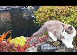 Enlace a El encuentro entre un gato y una carpa por primera vez
