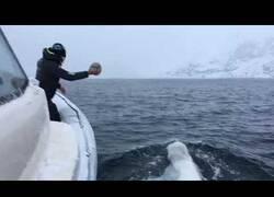 Enlace a Un hombre y una beluga juegan con una pelota de rugby