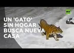 Enlace a Graban a un tigre paseando de noche por las calles de una aldea en Rusia