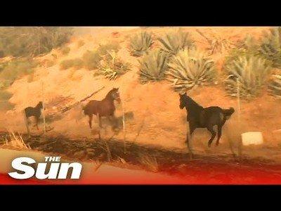Un caballo acude al rescate de otros dos equinos durante los incendios en California