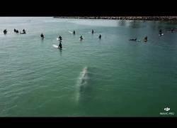 Enlace a Una ballena se acerca a nadar junto a un grupo de surfistas