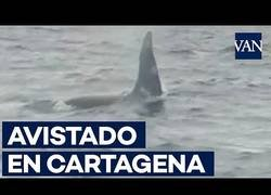 Enlace a Encuentran dos orcas en las playas de Cartagena