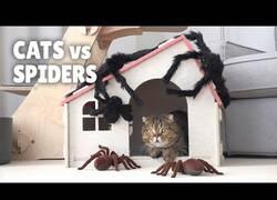 Enlace a La reacción de estos gatos al ser sorprendidos por arañas