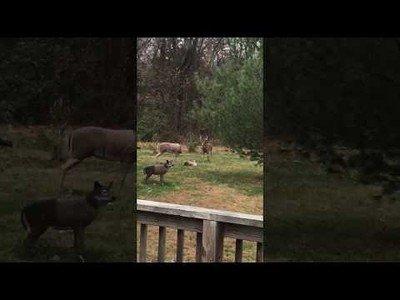 Un ciervo se confunde con un falso antílope y todo acaba de forma inesperada