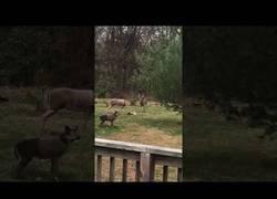 Enlace a Un ciervo se confunde con un falso antílope y todo acaba de forma inesperada