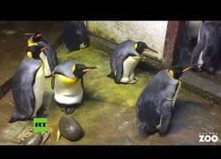 Enlace a Dos pingüinos macho roban la cría de otra pareja de pingüinos