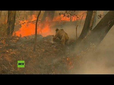 Ciudadanos australianos rescatan a koalas en peligro por los incendios de la zona
