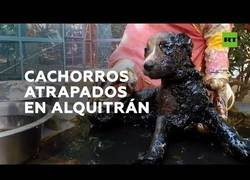 Enlace a Rescatan a cuatro cachorros atrapados en alquitrán