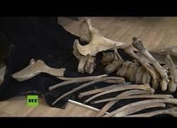 Enlace a Aparecen en Rusia los restos de un mamut
