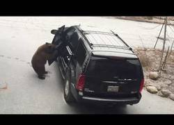 Enlace a Un oso consigue meterse dentro de un coche