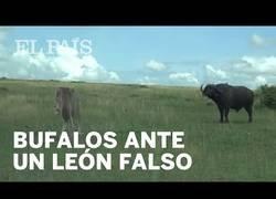 Enlace a Una manada de bisontes reaccionan ante un león falso